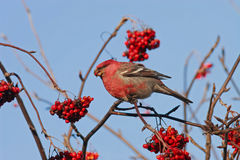 bird is eating a red frozen Rowan berries in winter Park Stock Images