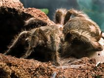 Bird eating spider Stock Images