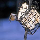 Bird eating suet. Black capped chickadee bird eating suet from a feeder. Species: Poecile atricapillus stock photo