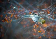 Bird eats berries Royalty Free Stock Image
