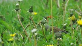Bird eats dandelion seeds. Real time stock video footage