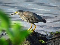 Bird, Ecosystem, Beak, Green Heron Stock Images