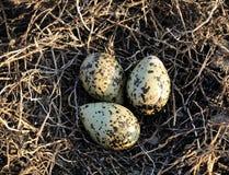 Bird eggs. Stock Image