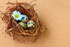 Bird eggs in nest. Stock Photos