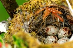 Bird eggs in nest Royalty Free Stock Image