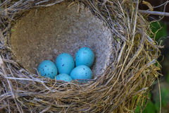 Bird eggs in the nest Stock Photos