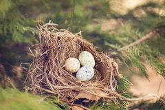 Bird eggs in a nest Stock Images