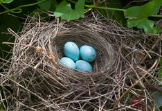Bird eggs. Bird nest on tree branch with five blue eggs Stock Images