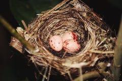 Bird eggs Royalty Free Stock Photo
