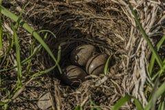 Bird eggs in small nest on field stock photo