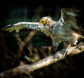 Bird Egyptian vulture Royalty Free Stock Images