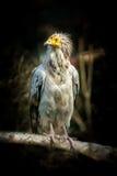 Bird Egyptian vulture Stock Photo