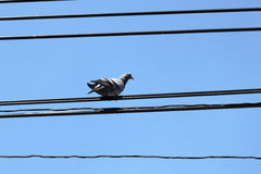 Bird on electric wire Royalty Free Stock Photos