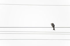 Bird on the electricity wire Royalty Free Stock Photography