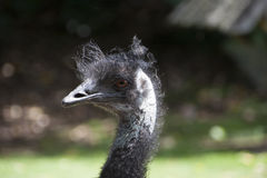Bird emu. Close-up in Auckland Zoo Royalty Free Stock Photo