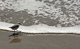Bird enters the surf in Melbourne, Florida, USA. A happy bird enters the surf in Melbourne, Florida, USA in a sunny day in spring Stock Image