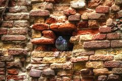 Bird in Eroded Brick Wall Texture Stock Image