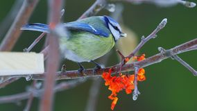 Bird - Eurasian Blue Tit  Cyanistes caeruleus  sitting on a branch of a tree and eats a sunflower seed. stock footage