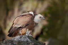 Bird Eurasian Griffon Vulture, Gyps fulvus, sitting on the stone, rock mountain, Spain Stock Image
