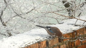 Bird Eurasian Jay Garrulus Glandarius. Colorful bird Eurasian Jay Garrulus glandarius sitting on the branch of a tree in winter forest stock video footage