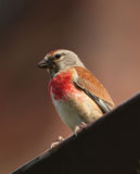 Bird - Eurasian Linnet Royalty Free Stock Images