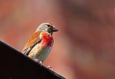 Bird - Eurasian Linnet Stock Image