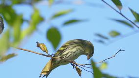 Bird - Eurasian Siskin  Spinus spinus  sitting on a branch of a tree. Close-up stock video