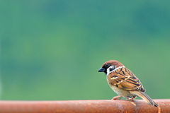 Bird (Eurasian Tree Sparrow) Stock Images