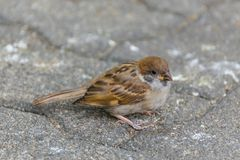 Bird (Eurasian tree sparrow) in a nature wild. Bird (Eurasian tree sparrow, Passer montanus) is a passerine bird in the sparrow family with a rich chestnut crown Royalty Free Stock Photos