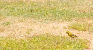 Bird - European Greenfinch Carduelis chloris on the grass field in summer with copy space in New Zealand. Also, called green linnet or greenie Stock Photography