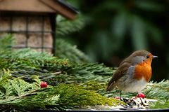Bird, European Robin, Beak, Branch Royalty Free Stock Photography