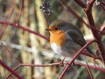 Bird, European Robin, Beak, Fauna Royalty Free Stock Photos