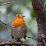 Bird European Robin Royalty Free Stock Photography