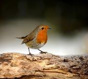Bird, European Robin, Fauna, Beak Royalty Free Stock Image
