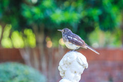 Bird on the European style garden. A bird, oriental magpie robin, on a decorative statue of a European style garden Stock Photo
