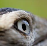Bird eye Royalty Free Stock Image