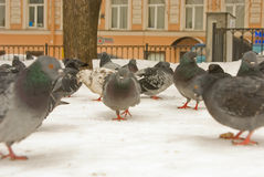 Bird eye look. Flight of pigeons close up in the winter Stock Images