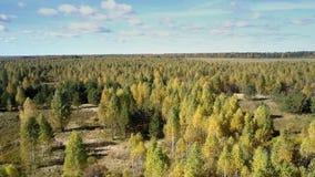 Bird eye view vast pine birch forest on sunny autumn day stock video footage