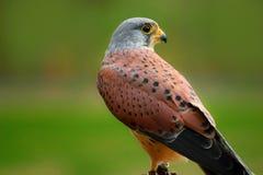Bird Falco sparrow hawk, American kestrel stock photography