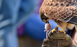 Bird, Falcon, Beak, Hawk Royalty Free Stock Images