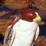 Bird falcon with falconry blind hood Stock Photography