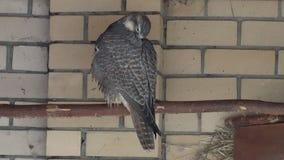 Bird, Falconiformes family-peregrine falcon stock video footage