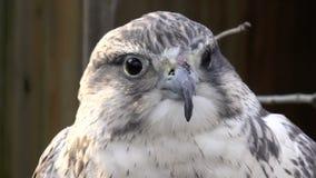Bird, Falconiformes family-peregrine falcon stock footage