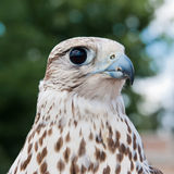 Bird of falconry Royalty Free Stock Photos