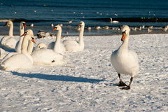 Bird family. In the winter scenery on the beach in Gdansk, Poland. Europe, the Baltic Sea coast Stock Photo