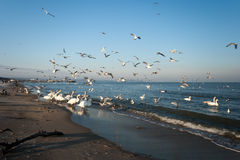Bird family. In the winter scenery on the beach in Gdansk, Poland. Europe, the Baltic Sea coast Stock Image