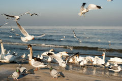 Bird family. In the winter scenery on the beach in Gdansk, Poland. Europe, the Baltic Sea coast Royalty Free Stock Photo