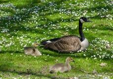 Bird family in flowering field Stock Photos