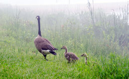 Bird family in the fog Royalty Free Stock Images