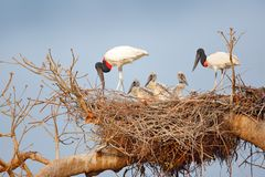 Bird family in nest. Parents with chicks. Young jabiru, tree nest with blue sky, Pantanal, Brazil, Wildlife scene from South Ameri. Ca. Animal behaviour in Royalty Free Stock Photography